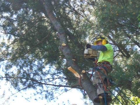 Brian Kittery at work after climbing a tree to be removed