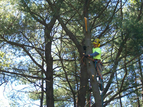 Brian Kittery working in a tree